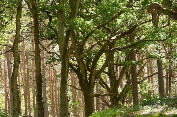 wychwood-forest_resize