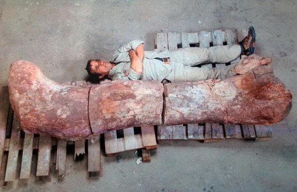 مقایسۀ استخوان ران این دایناسور، با ابعاد انسان