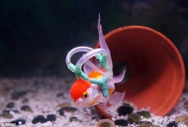 این ماهی طلایی که قادر به تنفس نبود، توسط صاحب انگلیسیاش به دستگاه تنفس مصنوعی مجهز شده است