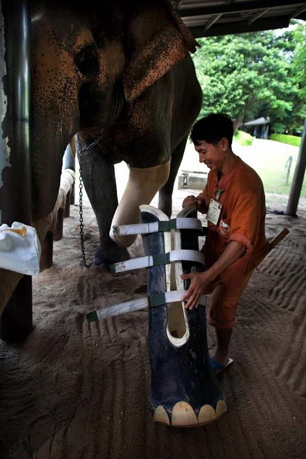 این فیل که پای خود را بر اثر انفجار مین از دست داده، صاحب یک پای مصنوعی میشود