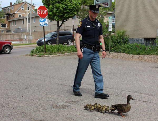 این افسر پلیس، اردک مادر و جوجههایش را در گذر از خیابان، همراهی میکند