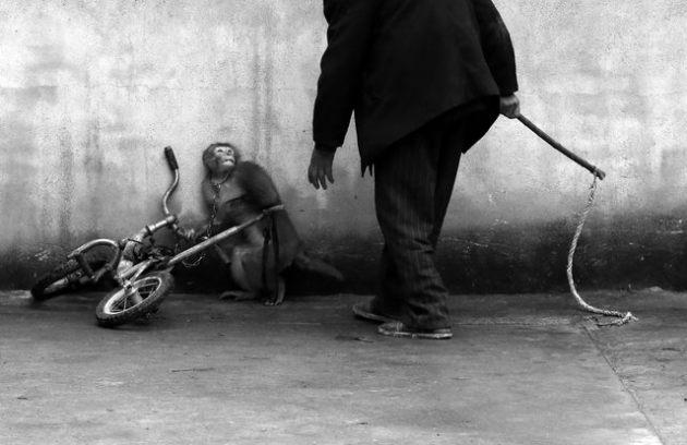 تربیت میمون برای سیرک، اثر عکاس چینی Yongzhi Chu